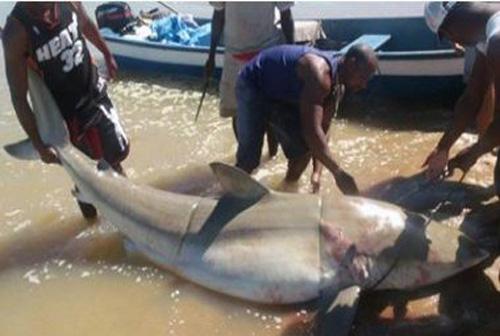 Mucuri: Pescador captura tubarão branco