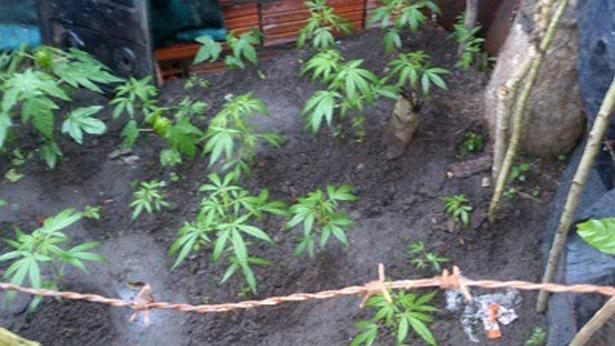 Gongogi: Polícia encontra plantação de maconha em quintal de casa