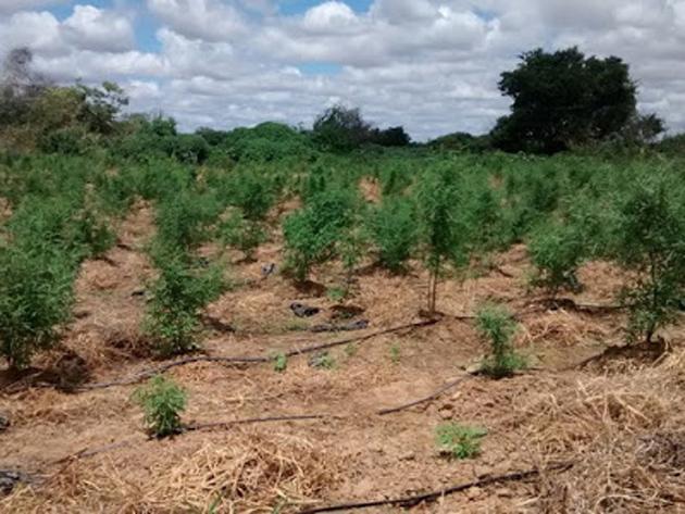 24 mil pés de maconha são incinerados no norte da Bahia