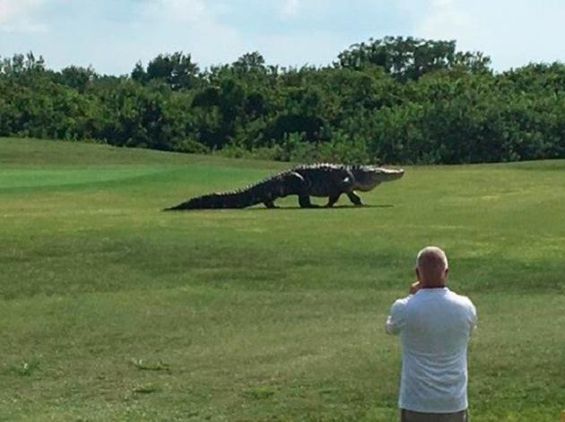 """Golfistas que se divertiam em um campo de golfe em Palmetto, na Flórida (Estados Unidos), ficaram surpresos ao receberem uma visita """"assustadora"""": a de um enorme jacaré."""