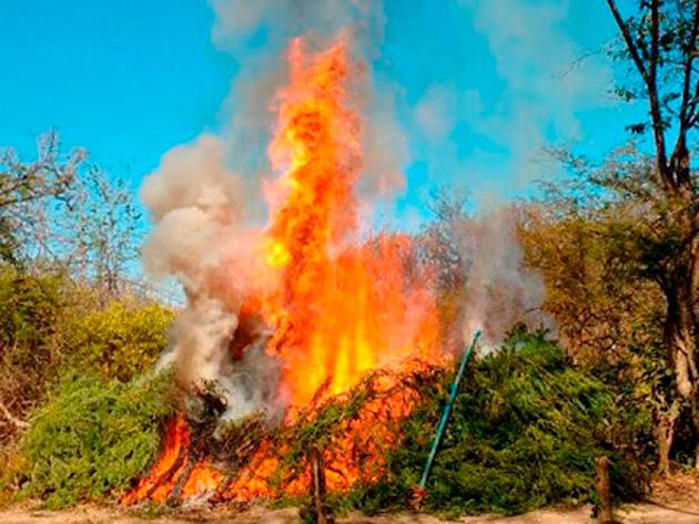 Operação 'Terra Limpa' destrói 3,5 toneladas de maconha na Bahia