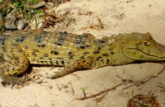 Jacaré é encontrado por banhistas em praia do extremo sul da Bahia